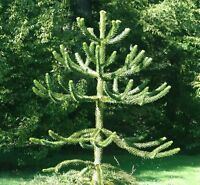 Bargain Monkey puzzle tree   gift best value ON EBAY moving in present.