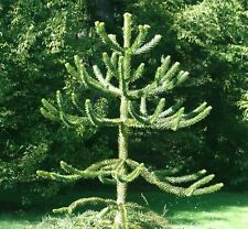 Bargin Monkey puzzle tree   gift best value ON EBAY moving in present.