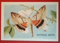 ANTHELID MOTH   Illustrated Colour Card