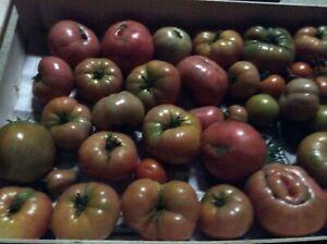 lot de graines tomates anciennes