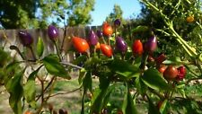NuMex Centennial Chili - 50+ seeds - MULTICOLOURED and WONDERFUL!