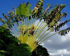 Giant White Bird of Paradise - STRELITZIA NICOLAI - 8 Flower Seeds