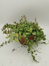 Peperomia prostrata String of Turtles 6 plant cuttings to root