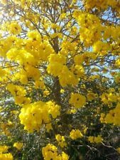 Florida Yellow Flower Tabebuia Tree Seeds-35 Seeds