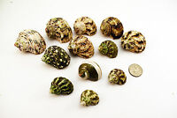 """12 Assorted Turbo Hermit Crab Shells Lot 3/4""""-2"""" size (opening 5/8""""-1"""") Seashell"""