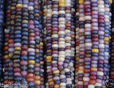 400 Glass Gem Heirloom Indian Corn Seeds Non-GMO Native Cherokee Zea mays Maize