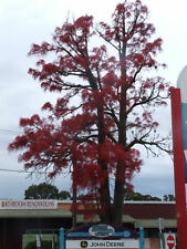 FLAME TREE Brachychiton acerifolius SEEDS 175 FRESH June 2016