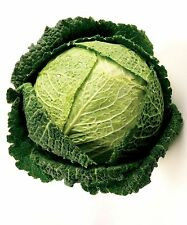 Savoy Cabbage Brassica oleracea  250 seeds * hardy * ez grow * CombSH E12