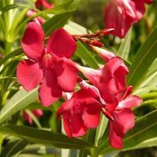 Nerium oleander HARDY RED OLEANDER Seeds!