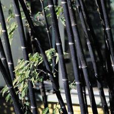 BAMBU NEGRO Phyllostachys nigra 50 Semillas