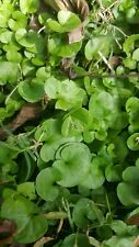 Carolinas Ponys foot Plant, vine, edible, aquarium, koi pond , herb