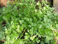 1000 GIANT ITALIAN FLAT LEAF PARSLEY Petroselinum Crispum Vegetable Herb Seeds