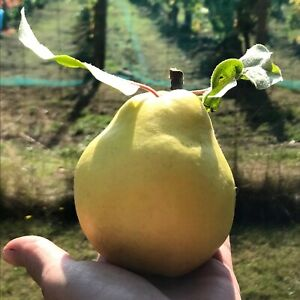 Quince SEEDS - Cydonia Oblonga grown in CANADA - FRAGRANT - FREE shipping