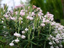 Andromeda polifolia (Bog-rosemary) LIVE plant, hardy broadleaf evergreen Zone 4a