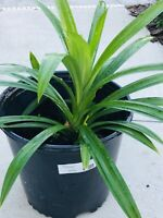 Live Large Pandan Leaf Plant 20-26 Inches From Roots