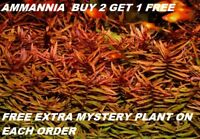 Ammannia Gracilis Red Bunch Live Aquarium Plants Tank Freshwater BUY2GET1FREE