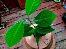 Guanabana seedling Edible Fruit Plant Exotic Soursop Graviola  Annona muricata