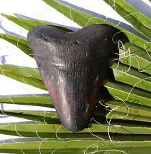Haifisch Zahn Fossil 230 g Hai 10,9 x 8,7 cm Megalodon HZ861 teeth tooth Haizahn