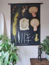 Vintage jung koch Quentell tirer roll down botanique école tableau de seigle (l' ergot de seigle)