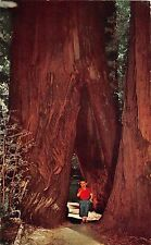 California postcard Burned out Redwood Tree Richardson Grove State Park trees