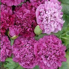 """Purple Peony Poppy """"Papaver Paeoniflorum"""" 100 Seeds"""