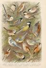 Vögel Kohlmeise Tannenmeise Haubenmeise Sumpfmeise - Farbdruck 1923 Bild Druck