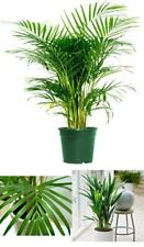 Areca Palm Live Plant Real Plants Butterfly 6 Pot Indoor Outdoor Air Purifier