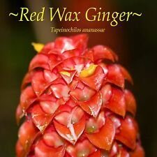 ~INDONESIAN WAX GINGER~ Tapeinochilos ananassae RED WAX GINGER 25 Rare Seeds