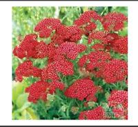 Yarrow (Achillea Milliefolium) - Rubra (Red) - 100 seeds