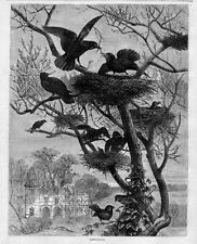 CROWS NEST ROOKS REBUILDING NESTS BIRDS ENGRAVING ROOKERY BREEDING CROW COLONY