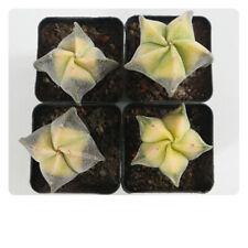 4CM Succulent Cacti Cactaceae Hybrid Astrophytum Myriostigma Lem Home Garden Pot