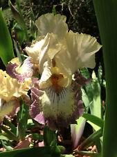 Tall Bearded Iris OMINOUS STRANGER Yellow White Fragrant Perennial Plant Rhzome