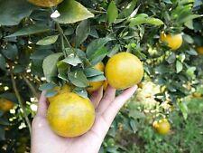 NEW!!10 Seeds Tropcal Thai Tangerine Orange  Fruit Tree very sweet Citrus rare