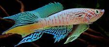 ((Rare)) 60 EGGS Killifish Fundulopanchax sjoestedti (Blue Gularis) HATCHING