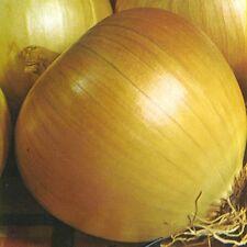 Cebolla-rijnsburger - 400 Semillas