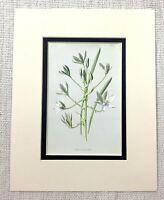 1913 Antik Aufdruck Star Von Bethlehem Blumen Weiß Botanische Pflanzen Kunst