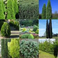 20 Mix Conifer Cypress Pine 4 Types Hedge Screen Tree Hardy Plants Topiary Shrub