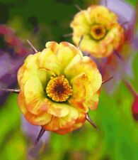 Geum Tequila Sunrise Apricot Yellow perennial plant 9cm pot FREE DELIVERY