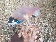 TAXIDERMY BIRDS JAY.