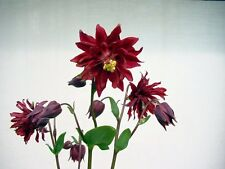 Columbine Seeds Aquilegia Barlow Bordeaux Columbine 50 Seeds