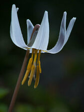 Erythronium albidum   White Fawnlily   Trout Lily   Adders Tongue   10_Seeds