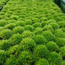 Leucobryum glaucum - Terrarium - Vivarium - Moss