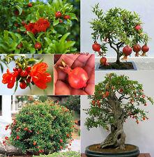 Dwarf Pomegranate tree - Punica granatum Nana / 30+ seeds / Bonsai ideal