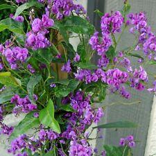 HARDENBERGIA violacea Purple (Climbing Form) Seeds (N 218)