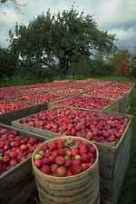 802004 Annapolis Valley Apple Harvest Nova Scotia Canada A4 Photo Print