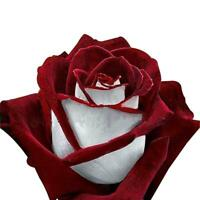 250X Rose Seeds, rare héritage de Rose d'Osiria Rose, graines de fleurs de gut