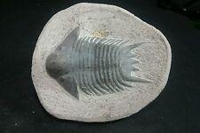 Lobopyge Spiny trilobite fossil.
