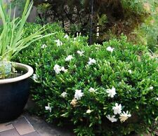 GARDENIA RADICANS perfumed flowers groundcover plant in 140mm pot