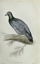 Jardine - Columba Cenas Pigeon - Copper Plate Engraving 1835 - Special $ 10 !
