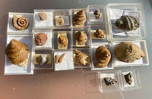 Jura-Fossilien: große Schnecken-Sammlung aus dem Dogger!